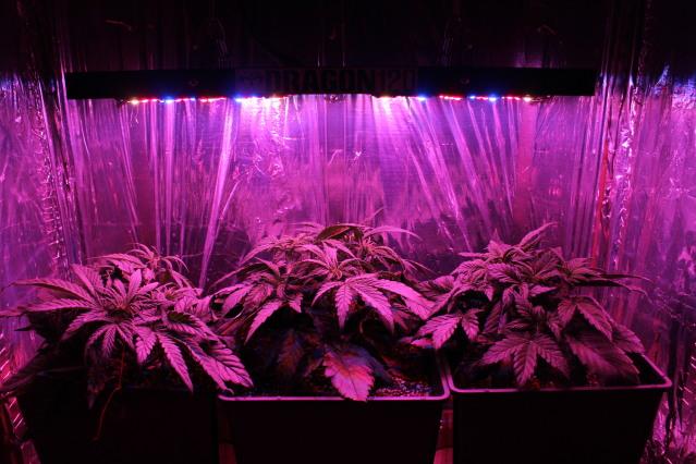 plantacion-led-autofloracion